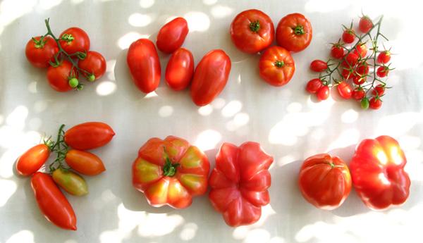Mis tomates 2012