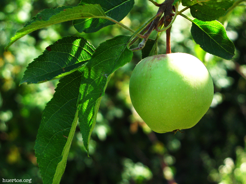 Manzana - huertos.org